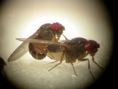 Is there anything that Drosophila melanogaster can't do?