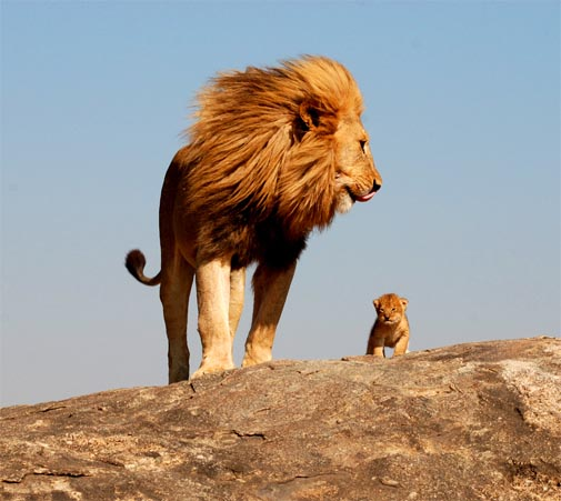 Behold the Lion King!